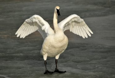 За убитого лебедя осудили охотника