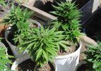 Президент помиловал больного пенсионера, выращивавшего марихуану